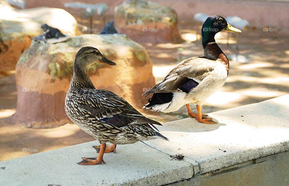 Ducks on a wall