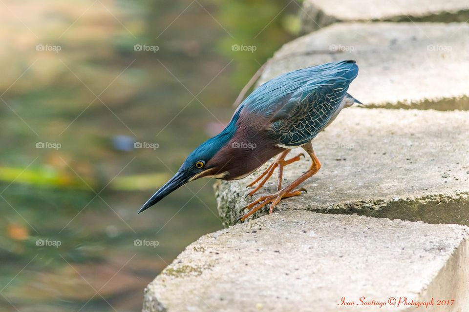 Green Heron, Martinete