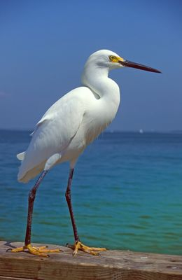 Portrait of a Snowy Egret.