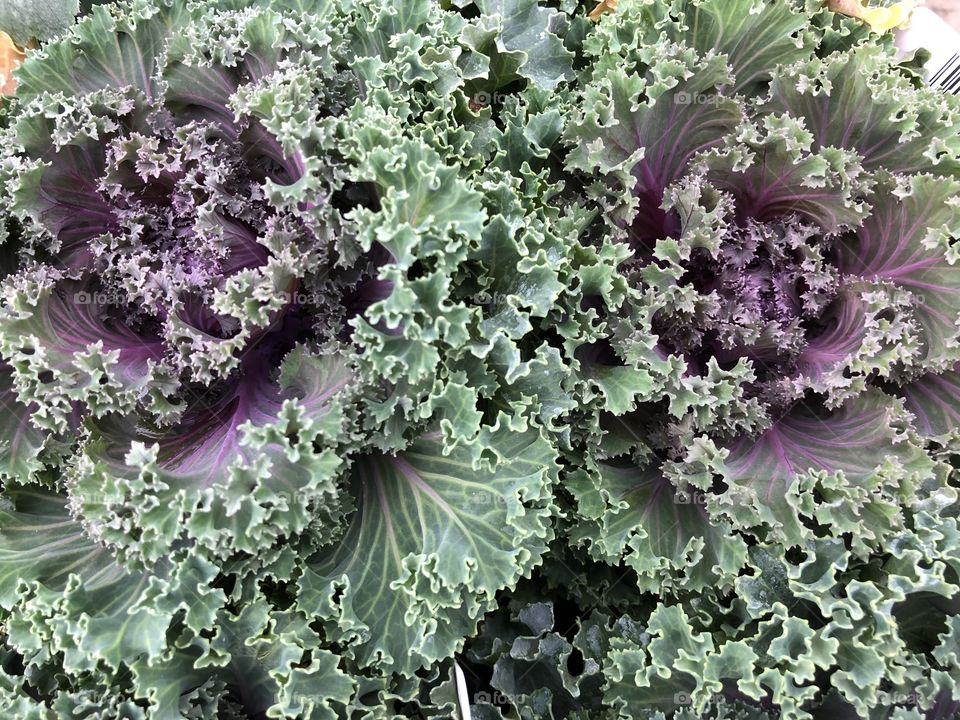 """Apparently this is cabbage, or to give it is correct tile it's """"ornamental kale"""" whatever it is my gosh it looks impressive."""