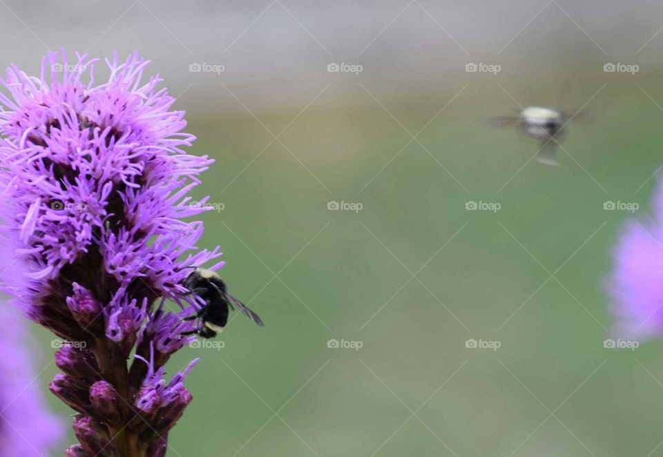 2 bumblebees one and purple flower one inflight August 7th 2016