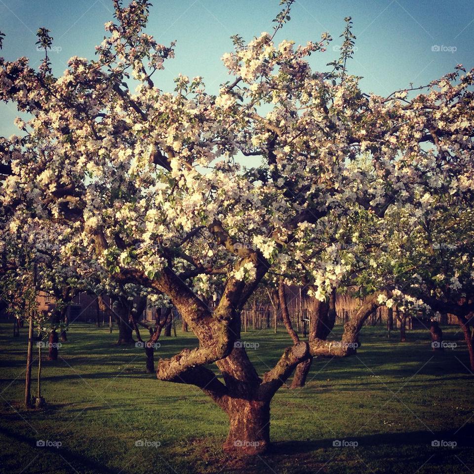 tree   branch, apple, landscape, no person