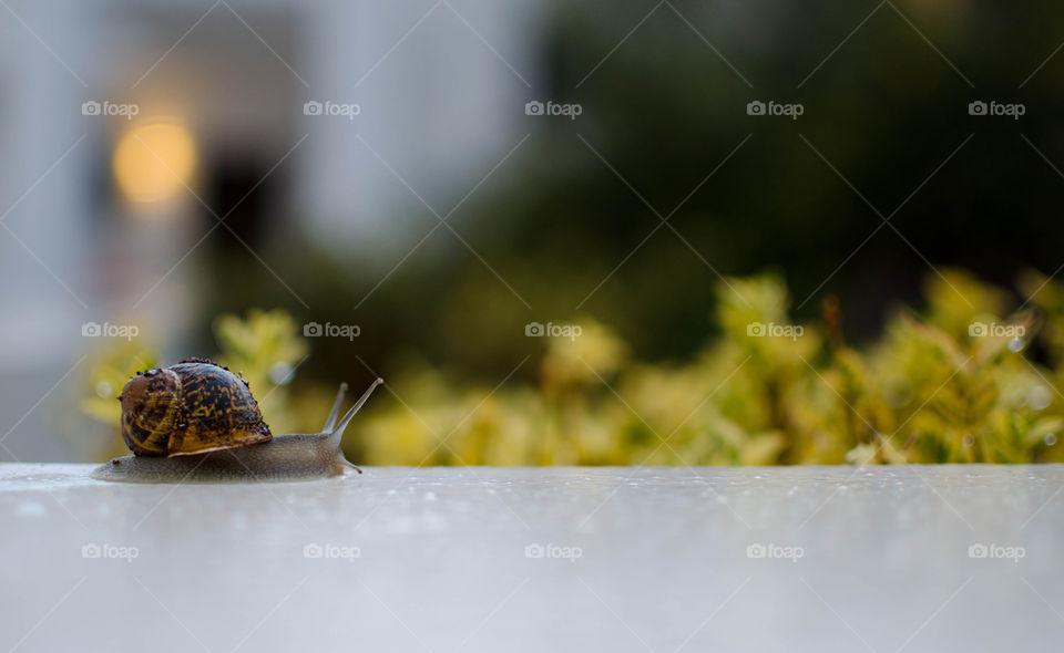 A snail is walking after rain