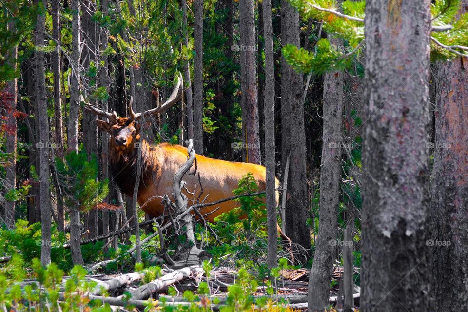 Elk in the jungle in Yellowstone