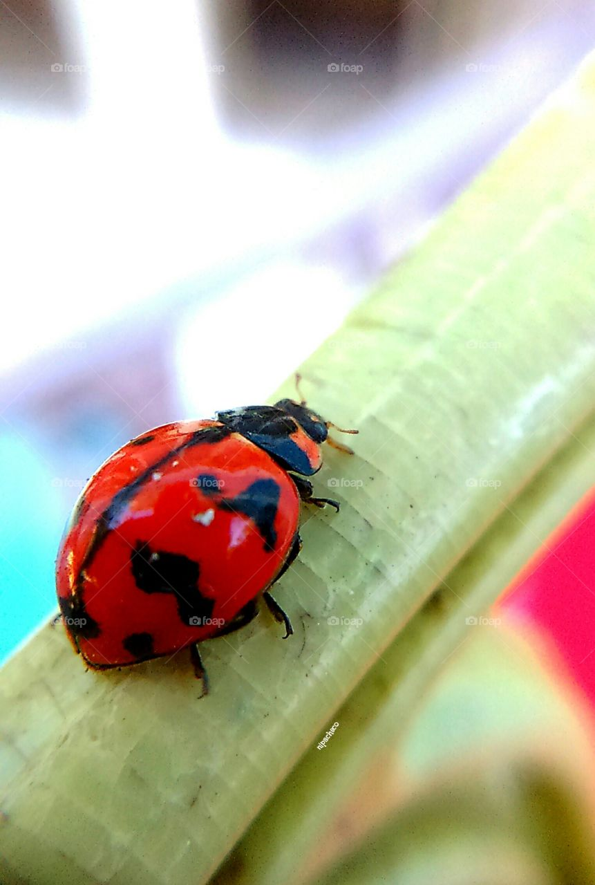 Lady Bug . test subject for my universal clip lens
