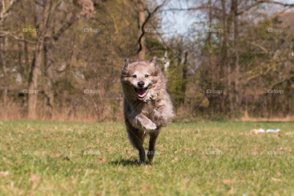Front view of a dog running