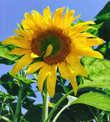 Sunflower blooming at outdoors