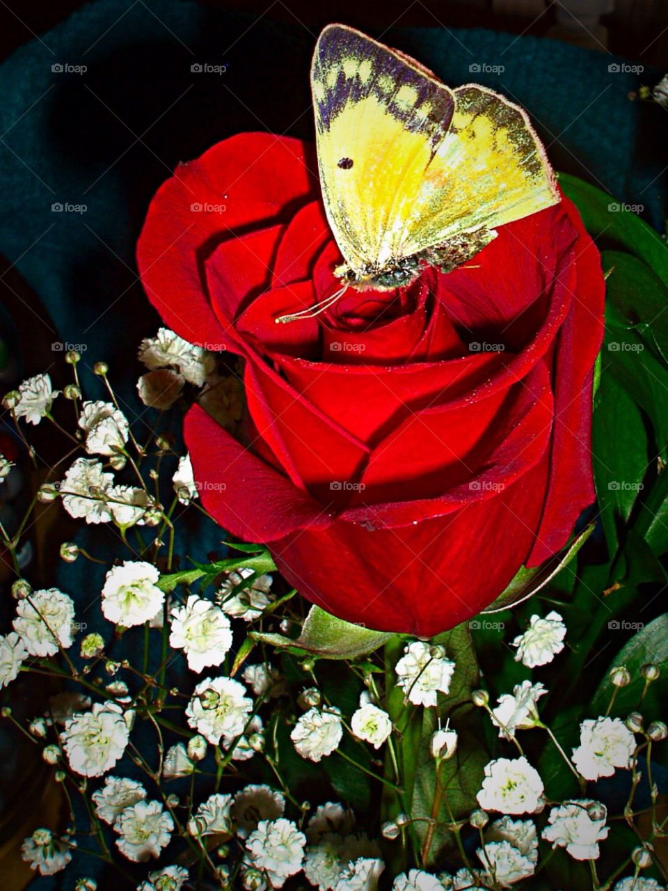 My Red Rose. Butterfly lands on My Red Rose