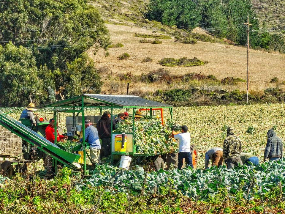 Migrant Workers Harvesting A Field