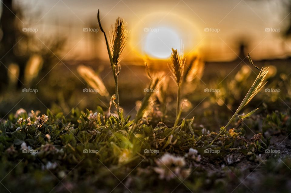 Reed grass growing during sunset