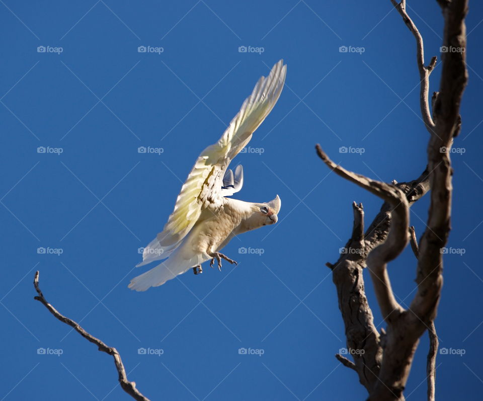 corella landing in a tree in a national park