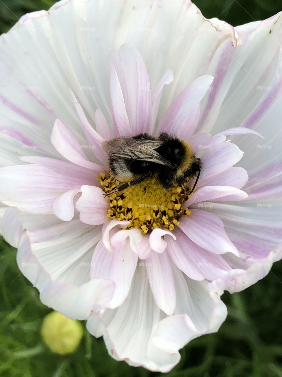 Bumblebee on a Cosmo flower
