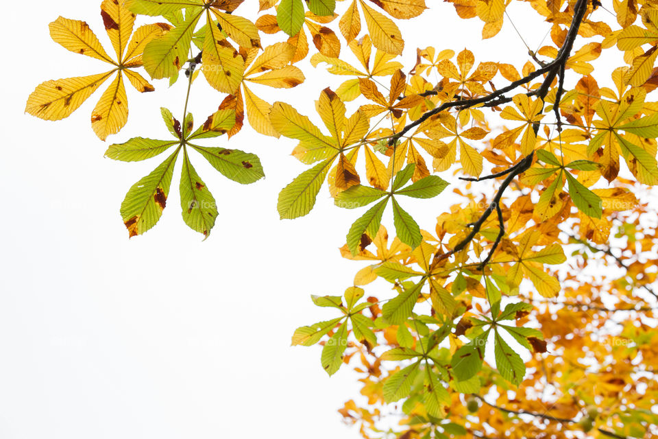 Chestnut leaves turning colors in early autumn