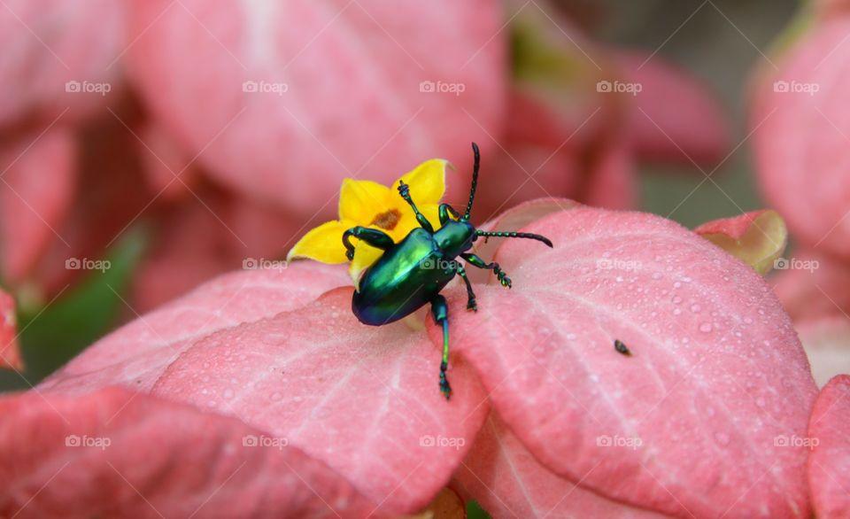 Jewel bug on the flower