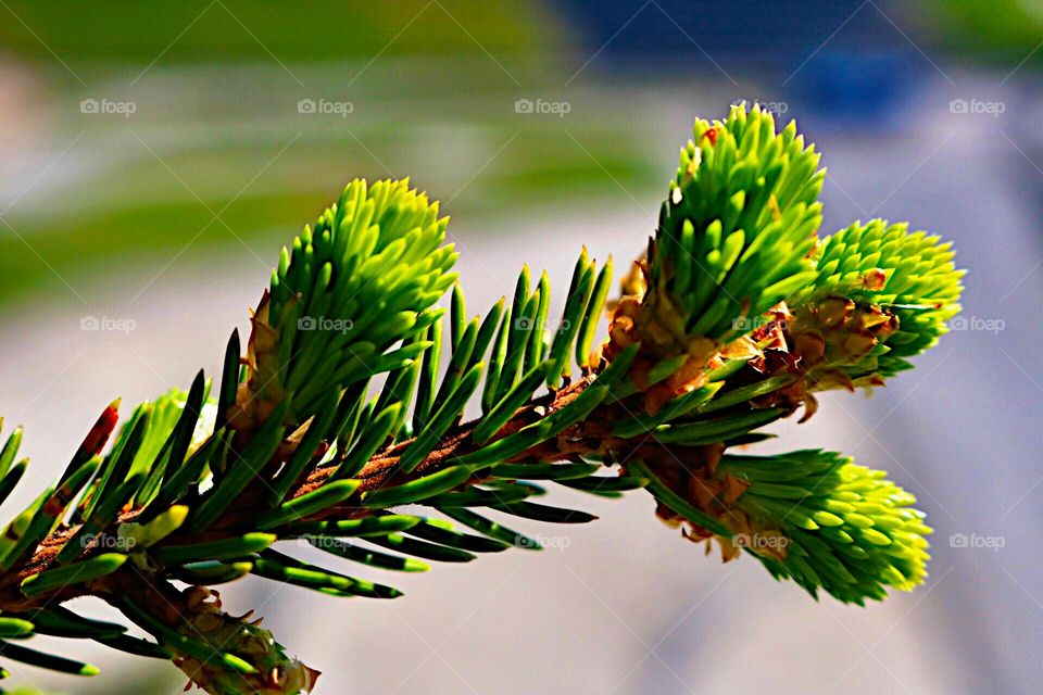 Green spruce buds!