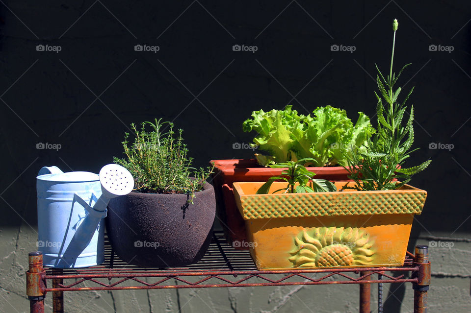 Shot of my baby blue watering can and my baby plants hardening before they can be planted in my garden.  There are some herbs;lavender thyme, siam cinnamon basil, rosemary, french lavender and a vibrant green leaf lettuce.