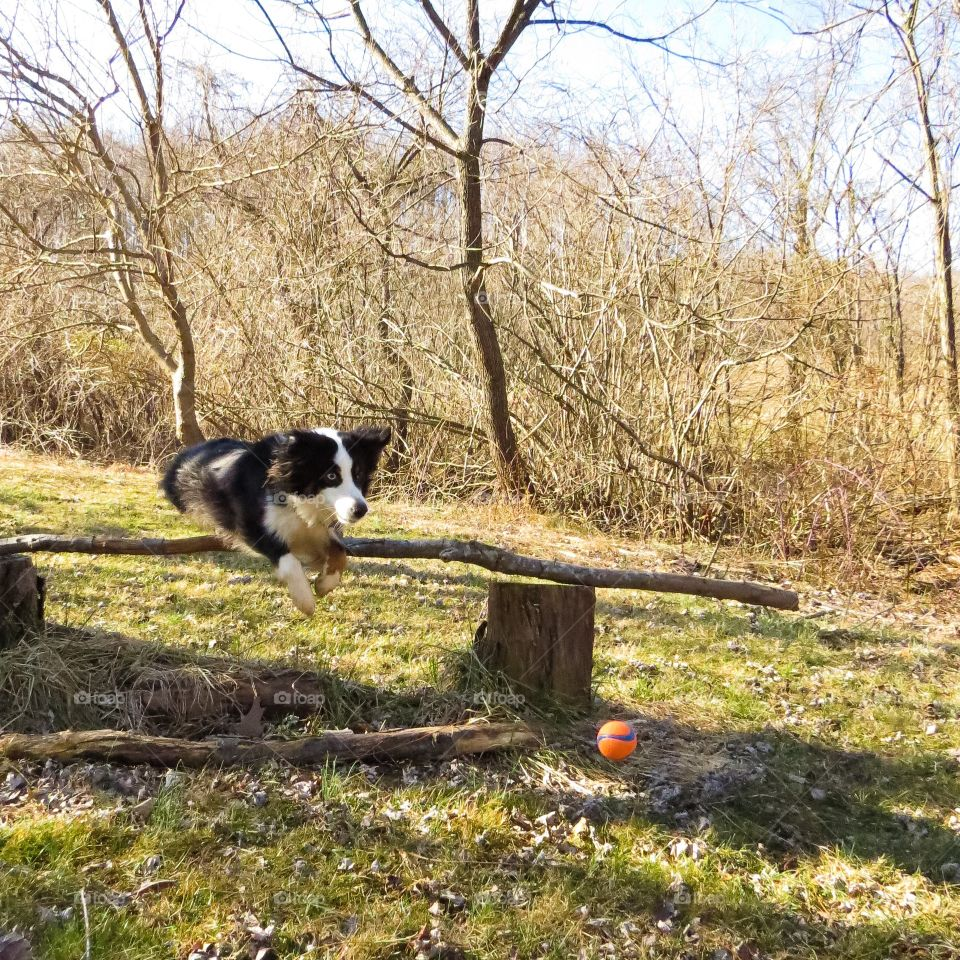 Dog jumping log in forest