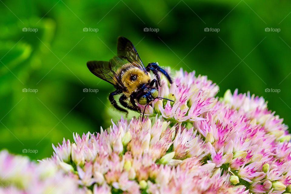 Honey Bee Pollinating Flowers, Summertime Honey Bee In The Wild, Honey Bee In The Flower Garden, Bumblebee Portrait, Closeup Honey Bee Pollination
