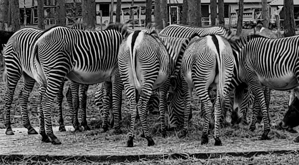 stripes zebras feeding in a safari park