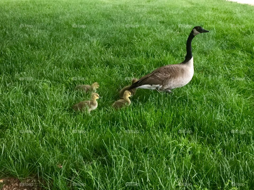 Following Mom  baby Geese's in the park
