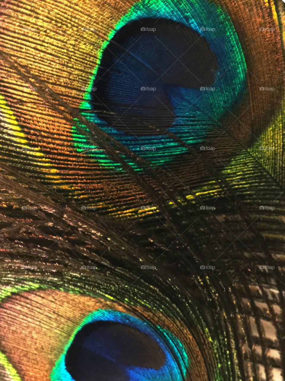 Dream tonight of peacock tails.