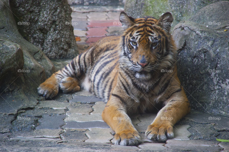 THE BENGAL TIGER IN PATTAYA THAILAND