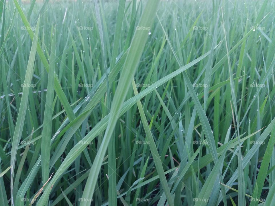 crop paddy