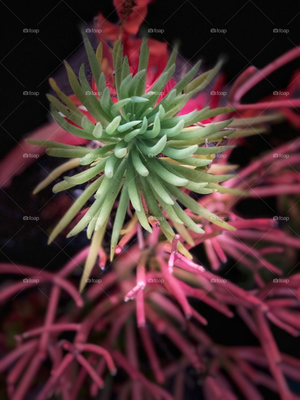 Stunning and Beautiful Succulents! Perfect Canvas or Metal Art, Screensavers, Desktop, Greeting Cards, Decor.