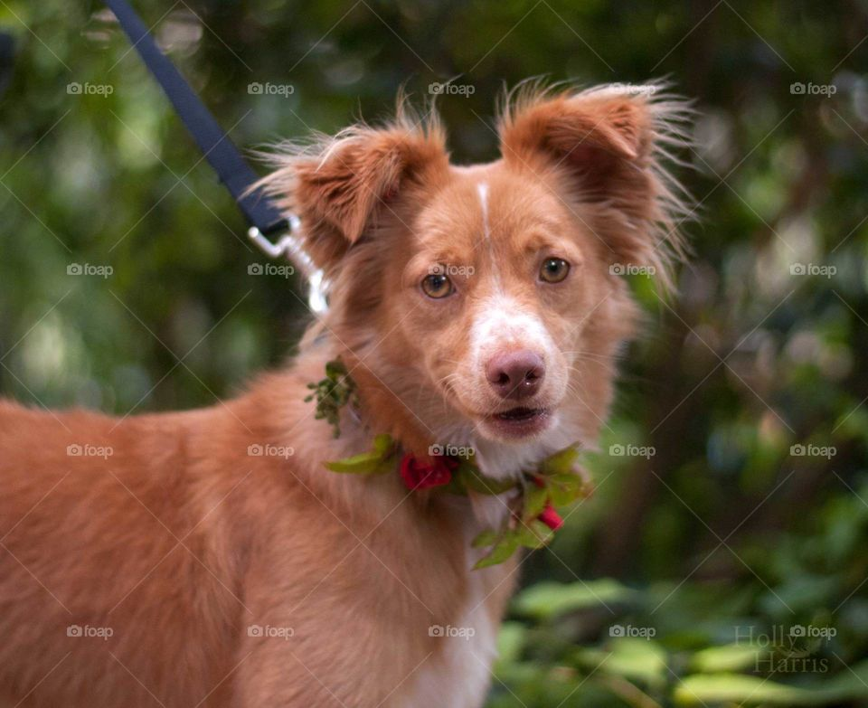 Collie dog, pretty girl