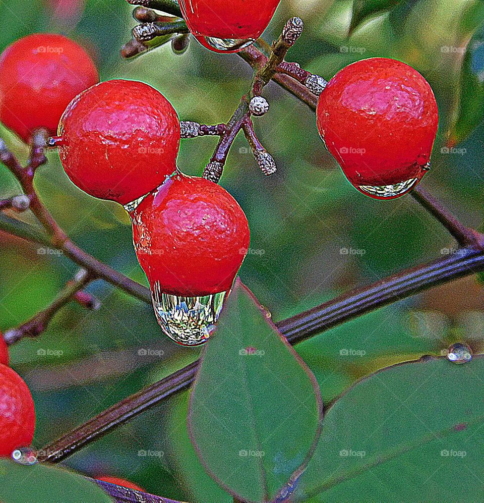 Holly berries hanging from their stems as the morning rain attaches itself to the bright and radiant red berries
