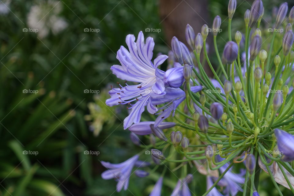 Purple agapanthus has unusual number of petals. Normally, they have 6 petals,but it has over 10 petals.