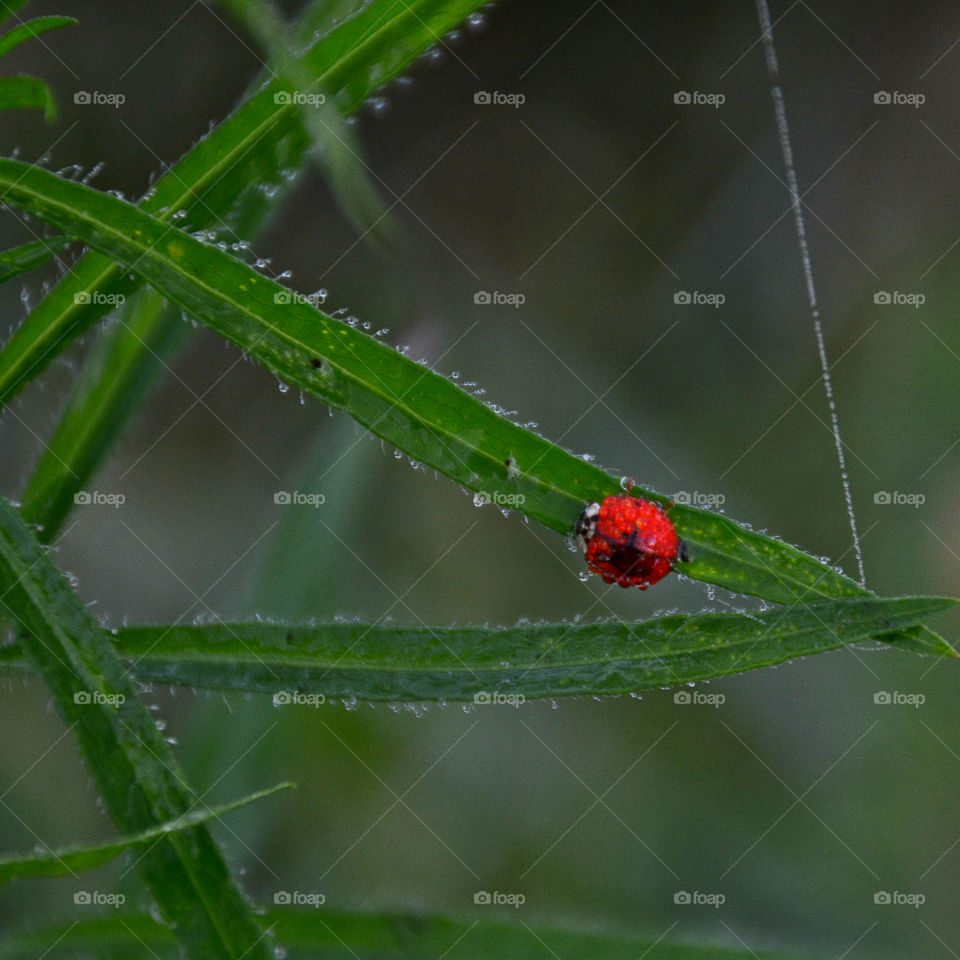 Lady Bug crawling ever so slowly up a plant blade lined with the morning dew! Also seen is webbing!