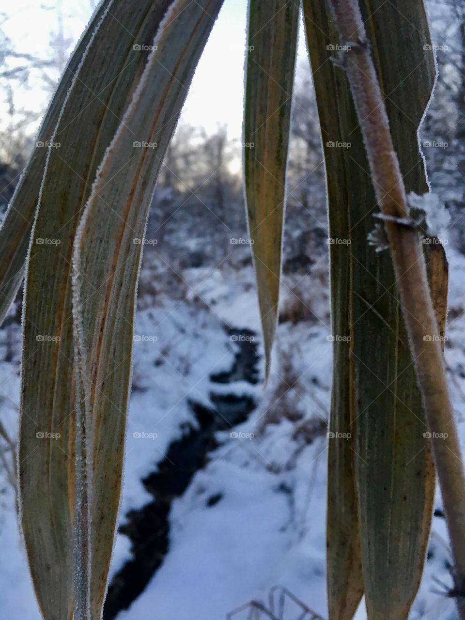 Wilted cane leaves droop in the snow covered forest