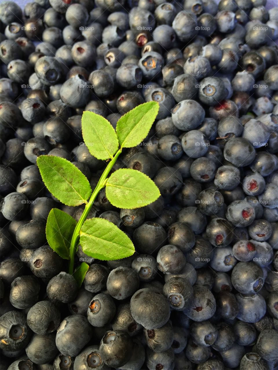 Close up of fresh gathered ripe dark blue swedish blueberries and a sprig with green leaves in summer.