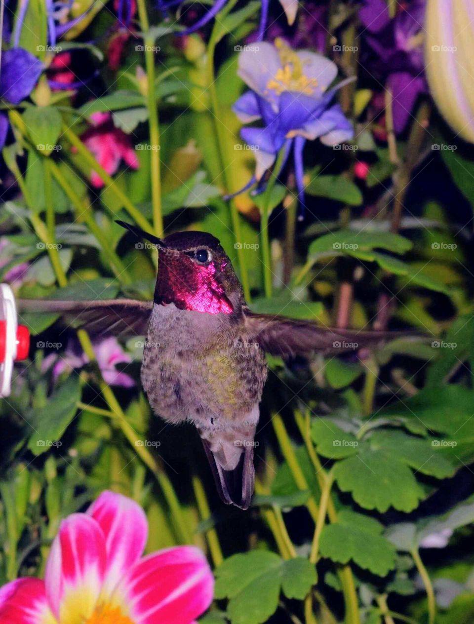 close up of a redheaded hummingbird in my backyard May 2 2018