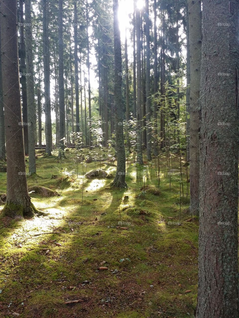 sun rays in a swedish forest