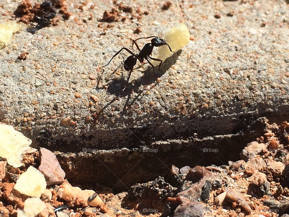 Worker ant carrying a large potato chip closeup   Conceptual ie. strength, adversity, dreamer, (see keywords for other ideas).