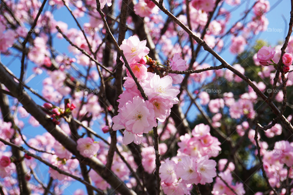 Japan. Cherryblossom