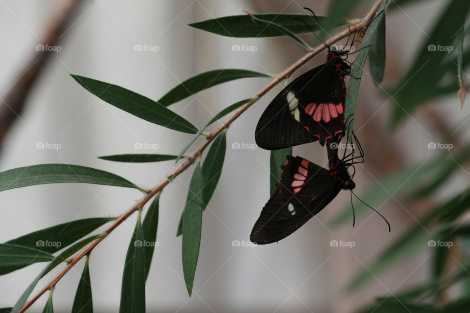 Two colourful butterflies hanging from leaf mating