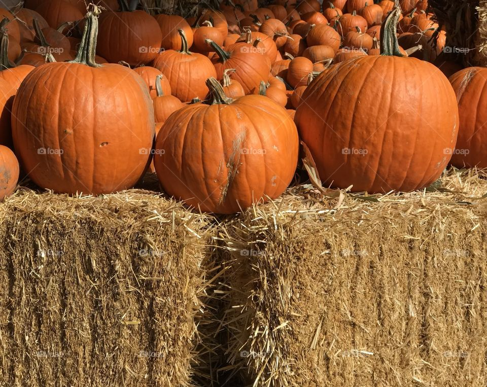An outdoor display of a crop of large pumpkins on top of hay bales ready for the fall season and its holidays.