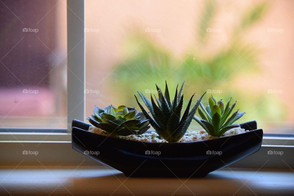 Succulent plants by window