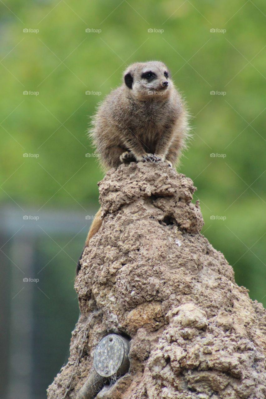 Meerkat. On top of a mound