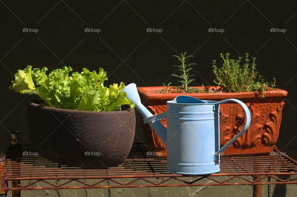 Shot of my baby blue watering can and my baby plants hardening before they can be planted in my garden.  There are some herbs;lavender thyme, rosemary, and a vibrant green leaf lettuce.