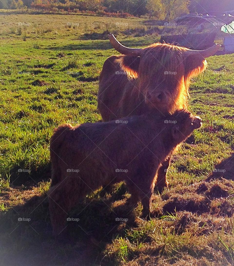 A cow and her calf illuminated by the sun's rays