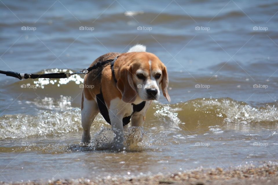 Beagle in the water at the beach
