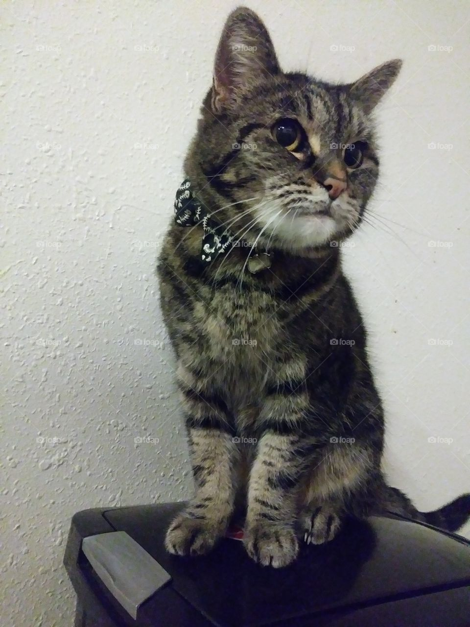 The adorable female cat named Elsi showing off her very cute bowtie