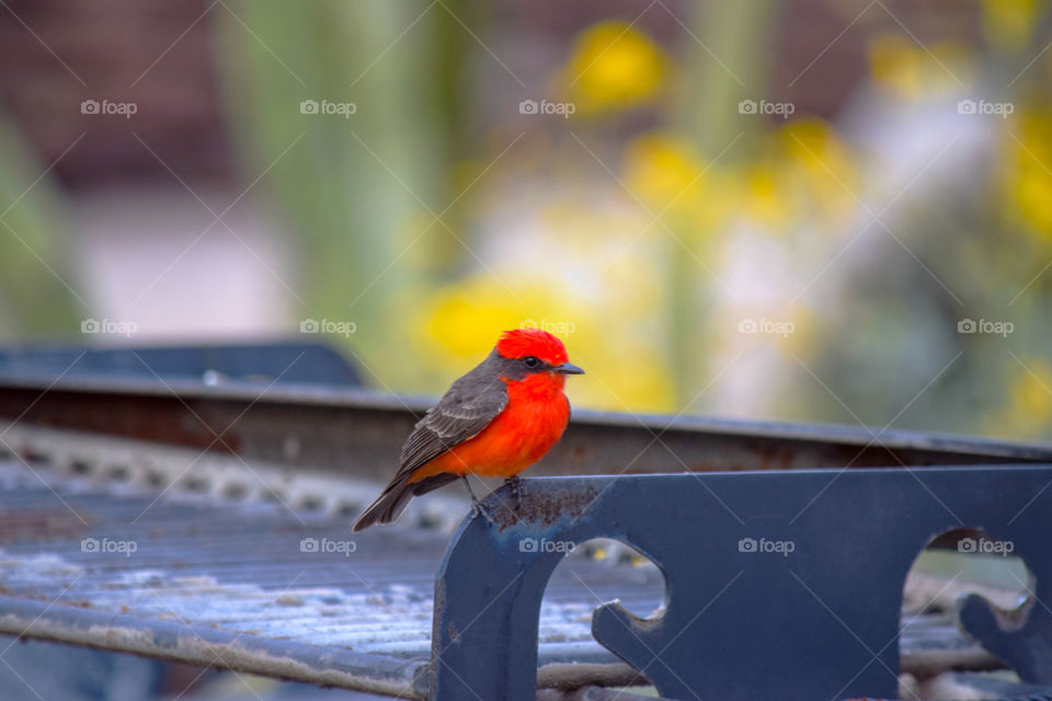 A red bird called Vermilion flycatcher (red color effect)