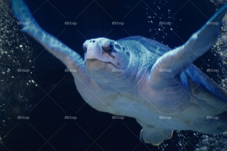 This is a sea turtle at the Newport Aquarium in Kentucky.