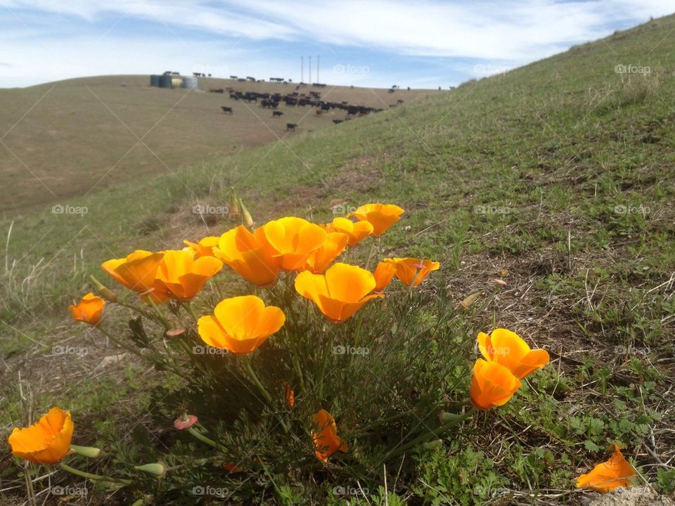 Poppies on the Hill