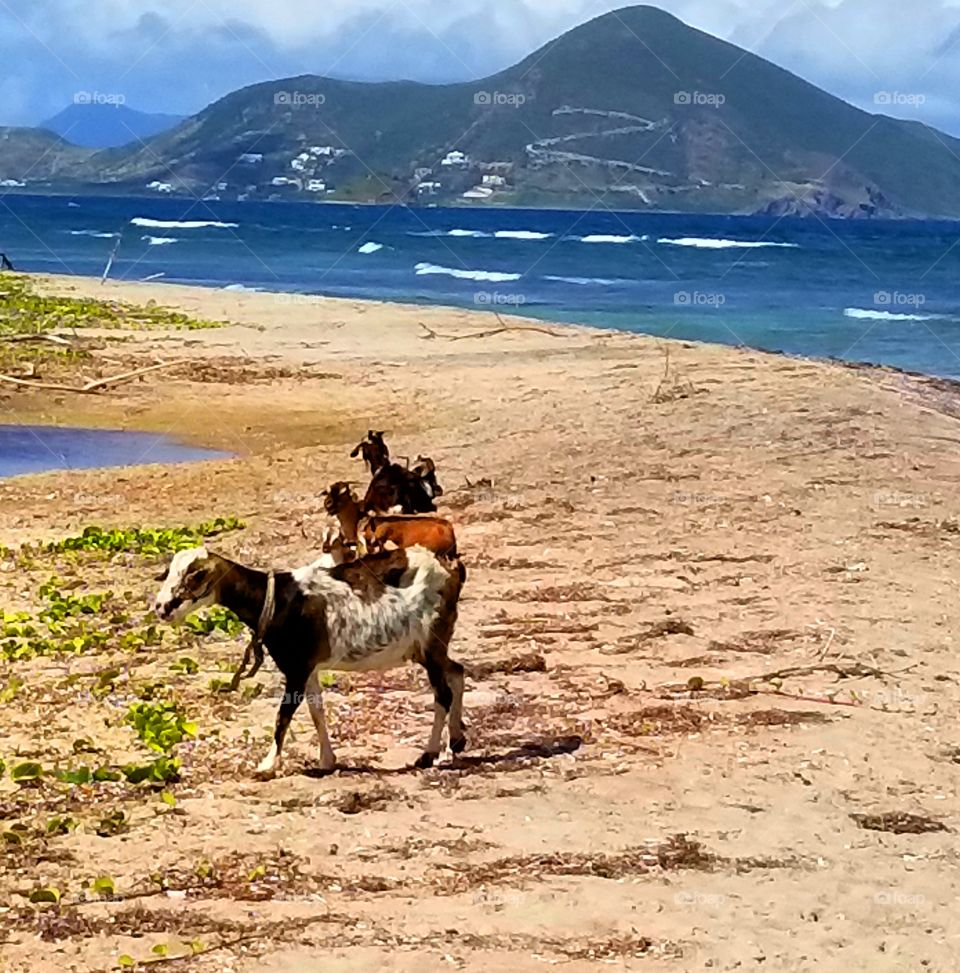 A Goats Day at the Beach